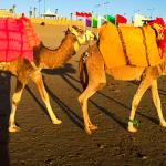 Marocko 2017 kameler